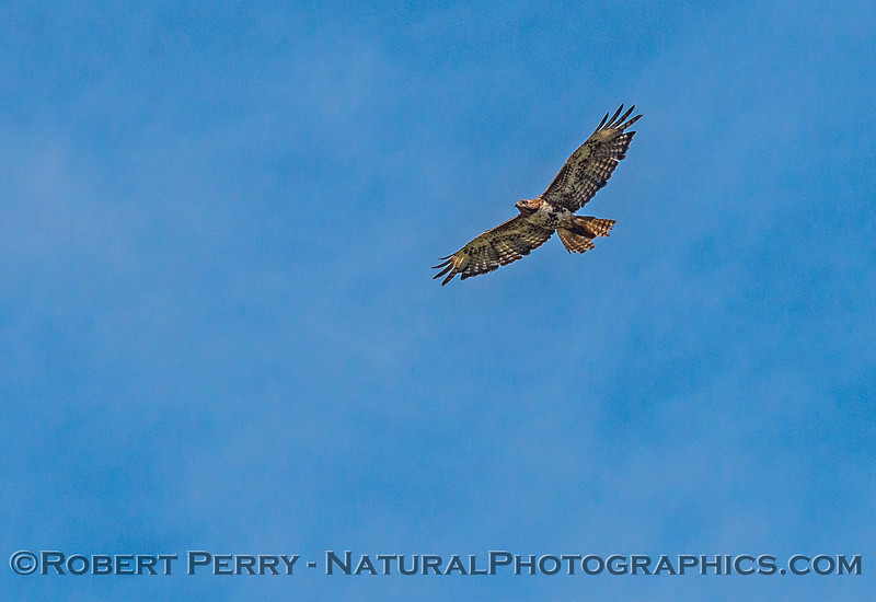Buteo swainsoni in flight 2017 06-04 Yolo By-Pass - 025