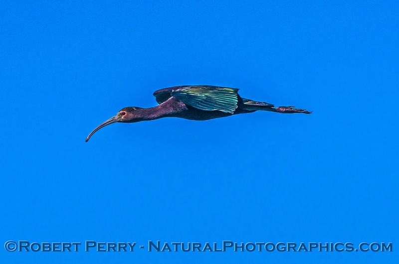 Plegadis chihi white-faced ibis in flight 2017 06-04 Yolo By-Pass - 213