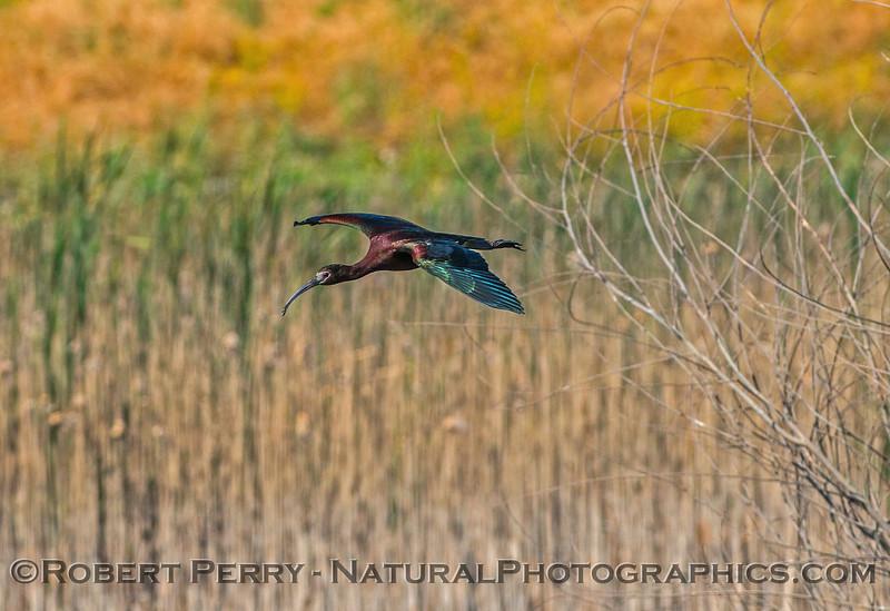 Plegadis chihi white-faced ibis 2017 06-04 Yolo By-Pass - 114