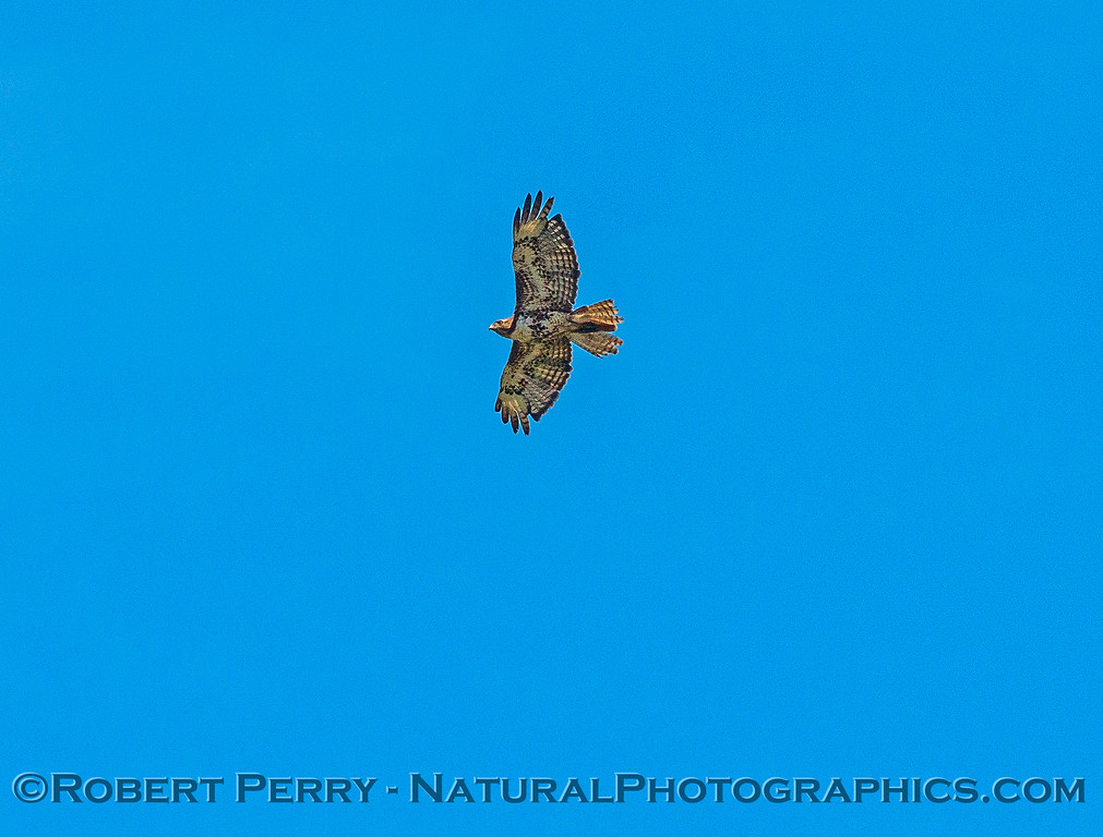 Buteo swainsoni in flight 2017 06-04 Yolo By-Pass - 040