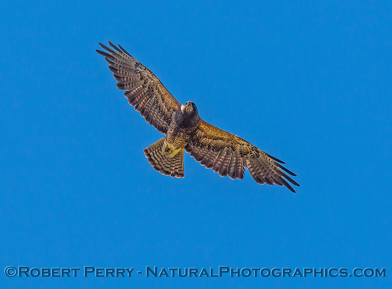 Buteo swainsoni in flight 2017 06-04 Yolo By-Pass - 068