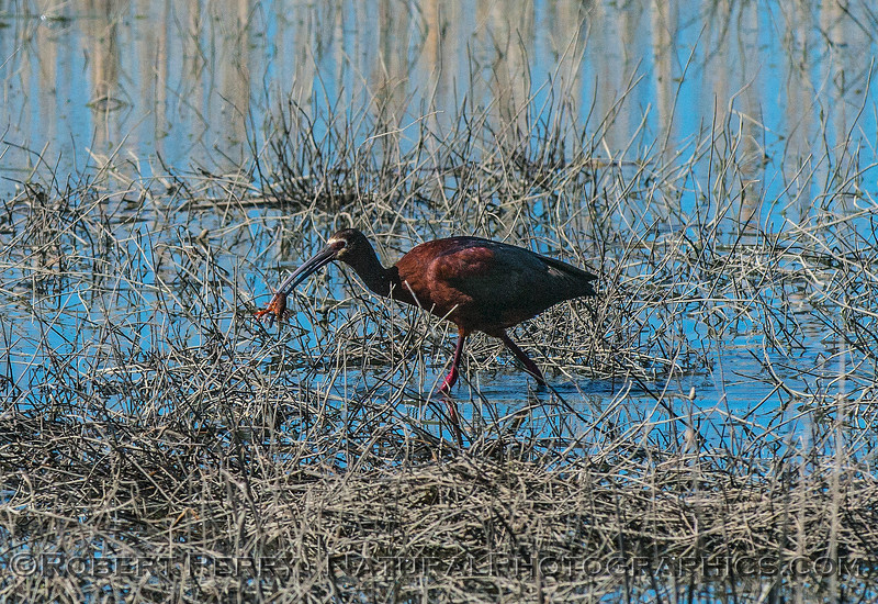 Plegadis chihi white-faced ibis crayfish in mouth 2017 06-04 Yolo By-Pass - 180