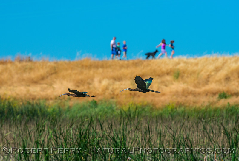 Plegadis chihi white-faced ibis in flight people dog on levee 2017 06-04 Yolo By-Pass - 284