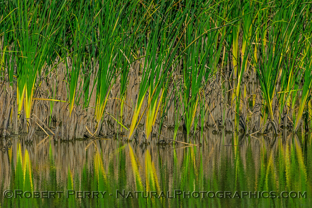 wetlands reeds reflections 2017 06-04 Yolo By-Pass - 006