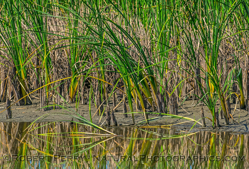 wetlands reeds reflections 2017 06-04 Yolo By-Pass - 010