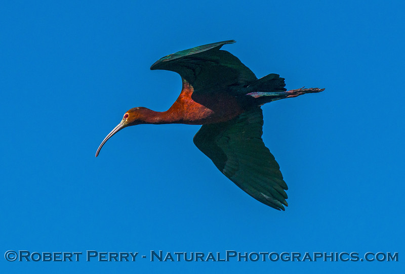 Plegadis chihi white-faced ibis in flight 2017 06-04 Yolo By-Pass - 215