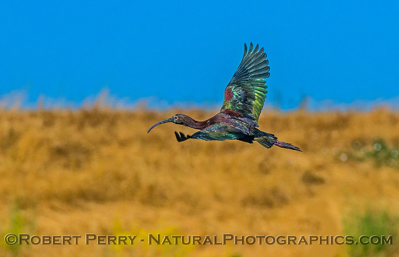 Plegadis chihi white-faced ibis in flight 2017 06-04 Yolo By-Pass - 253
