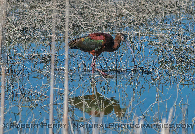 Plegadis chihi white-faced ibis 2017 06-04 Yolo By-Pass - 030