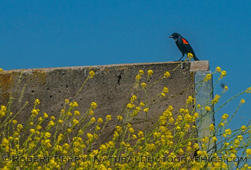 Agelaius phoeniceus red-winged blackbird 2017 06-04 Yolo By-Pass - 022