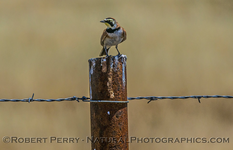 Eremophila alpestris Horned Lark on fence post 2017 06-06 Meiss Rd-012