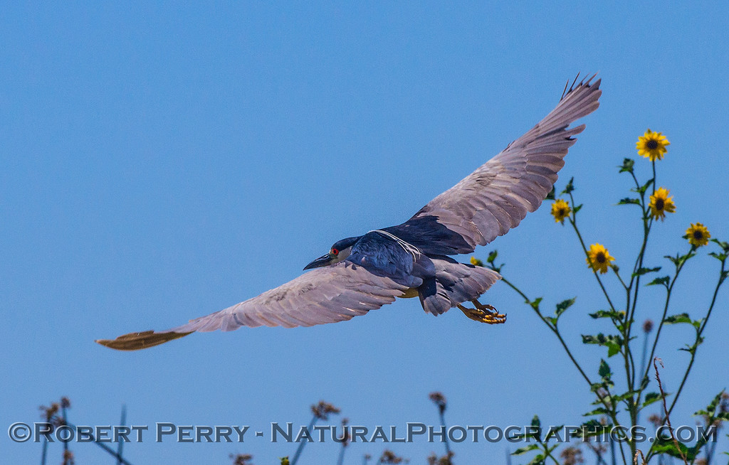 Nycticorax nycticorax in flight 2017 07-11 Yolo & Bypass-011