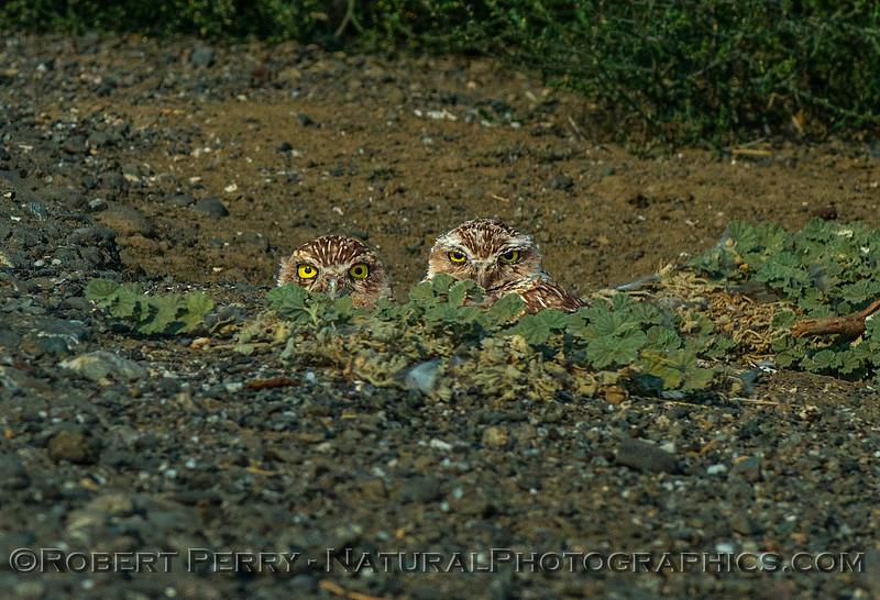 Athene cunicularia 2017 08-21 Yolo-123