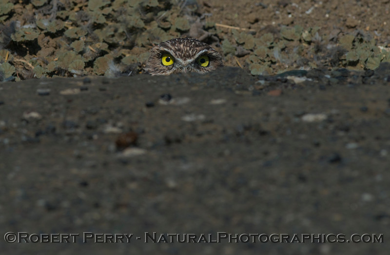 Burrowing owl poking out from a burrow that goes under the asphalt roadway.