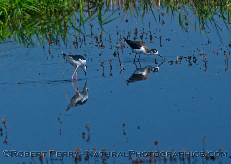Black-necked stilt reflections