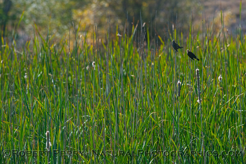 Red-winged blackbirds in the reeds.