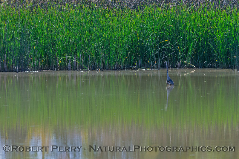 Great blue heron wading in a pond.