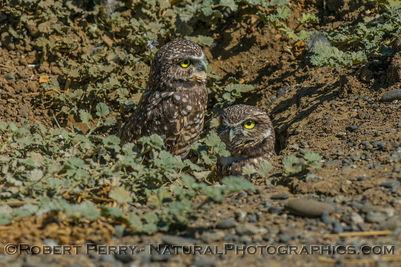 Burrowing owls.