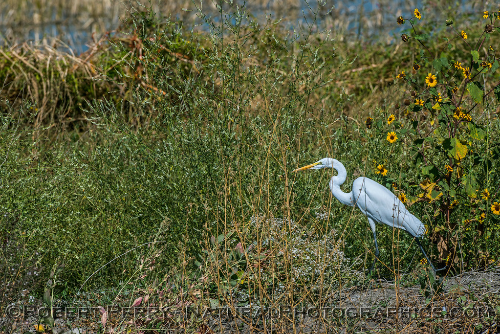A great (white) egret on patrol.