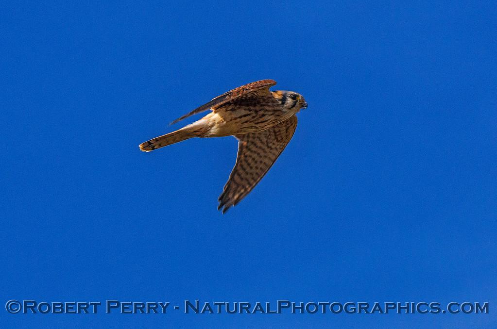 American kestrel fly-by