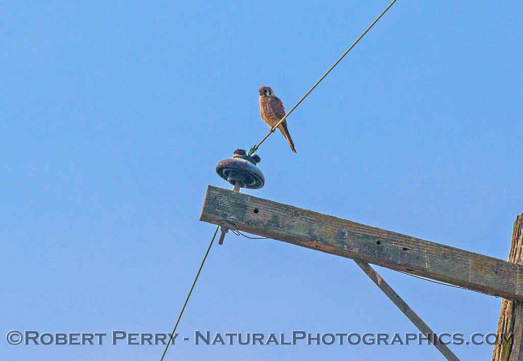 American kestrel - bird on a wire