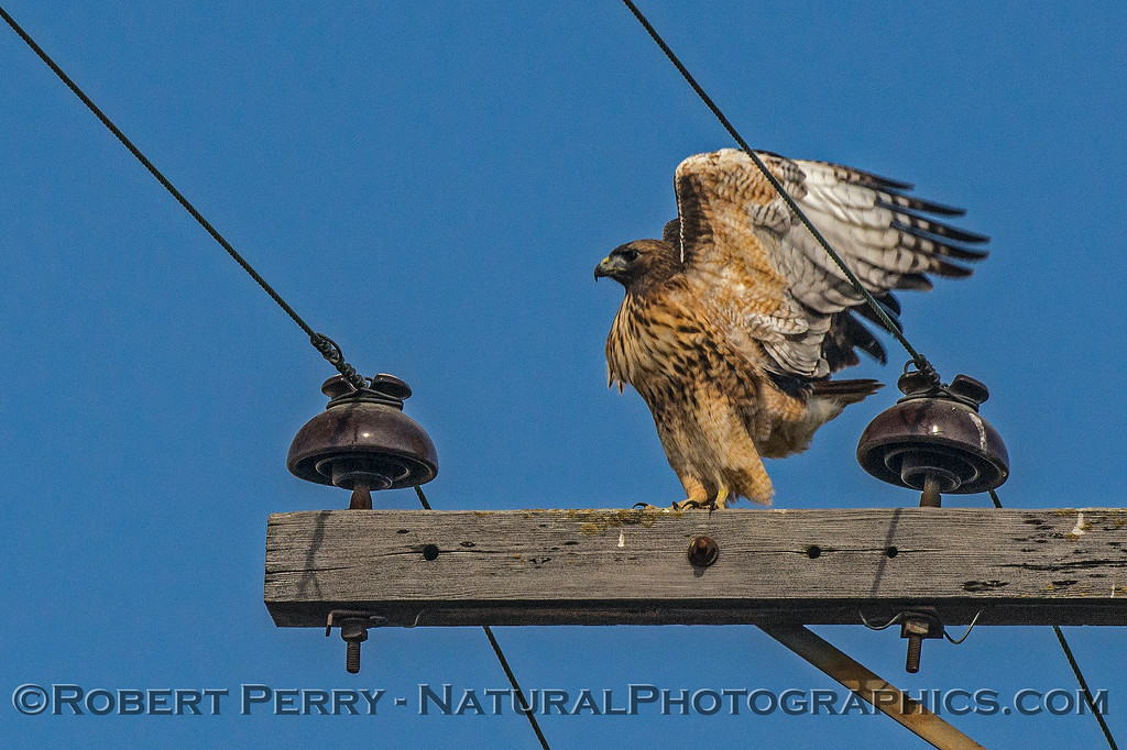 Red-tailed hawk - prepares for take-off