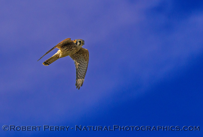 American kestrel fly-by