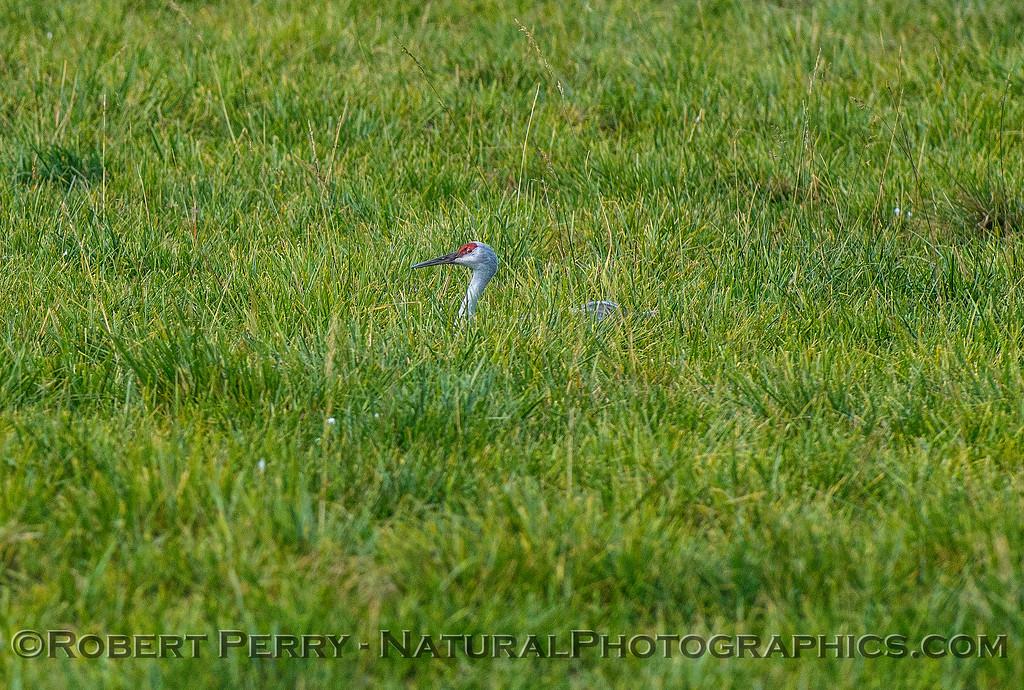 Sandhill crane - resting in the grass