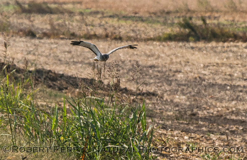 Northern harrier on the hunt - swooping low