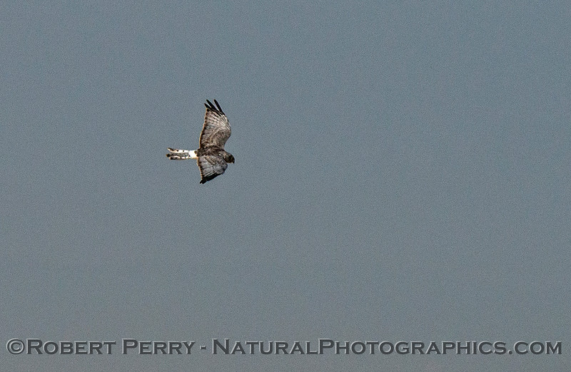 Northern harrier - distance photo enlargement