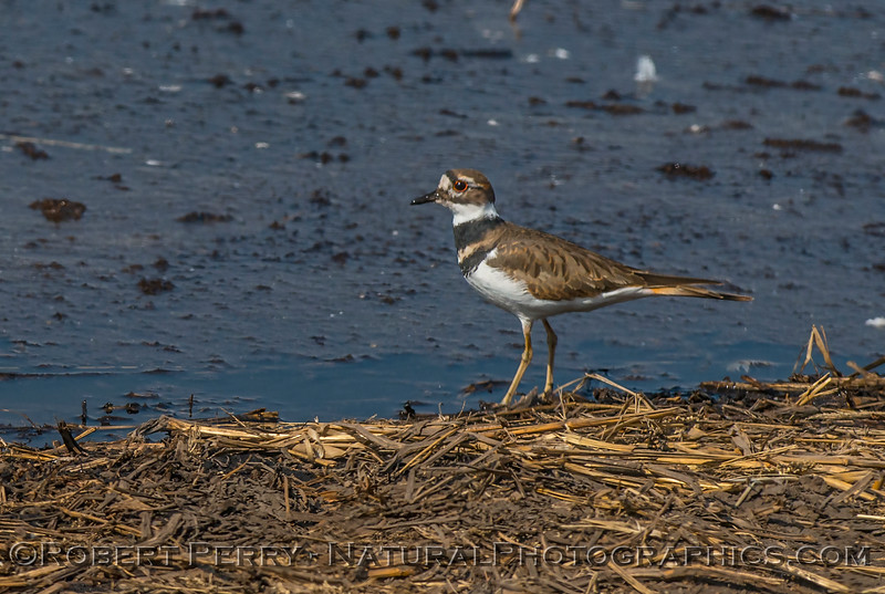 Kildeer - cousin of our marine/coastal plovers
