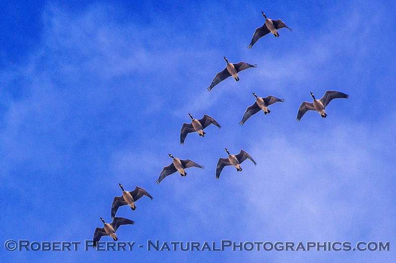 Canada geese fly-by
