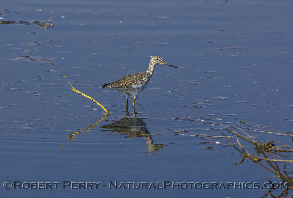 Greater  yellowlegs - cousin of our marine/coastal Willet.
