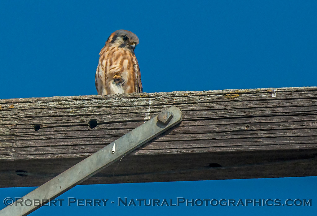 American kestrel - one legged stance