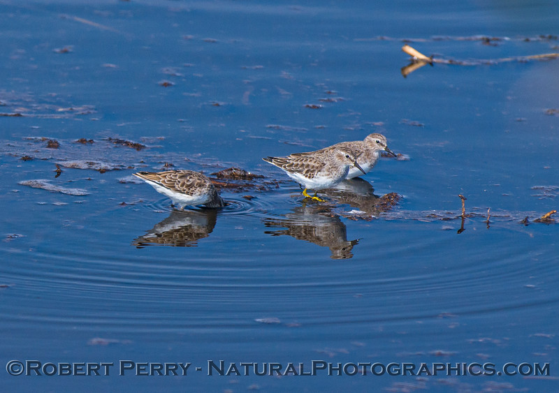 Least sandpiper - cousin of our marine/coastal Sanderlings