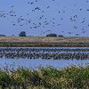 Canada geese - by air, land and Delta waterways