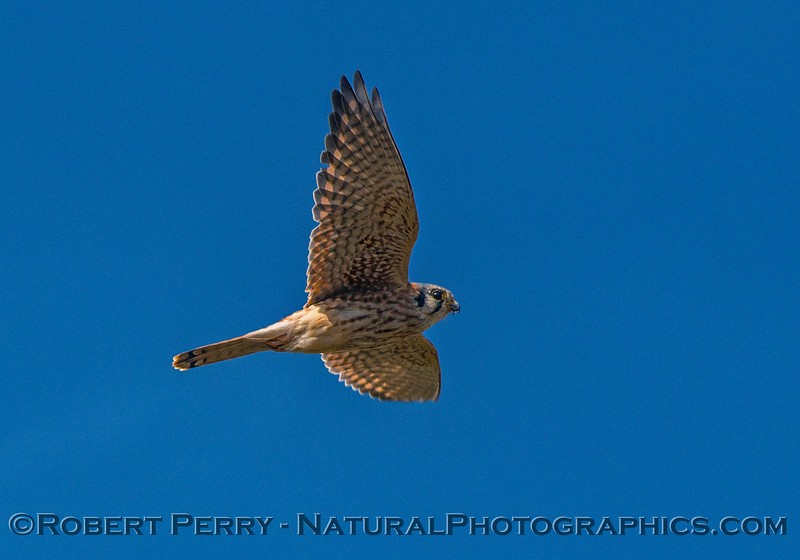 American kestrel - fly by