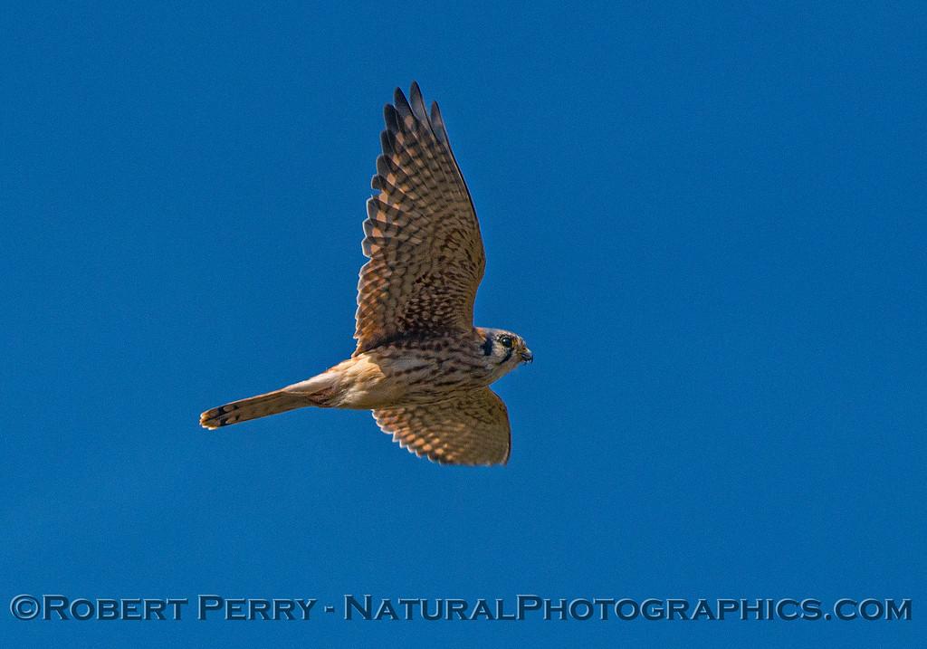 American kestrel - fly by