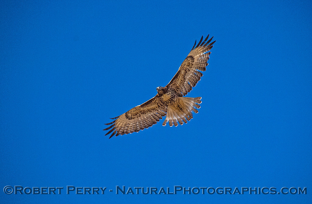 Buteo jamaicensis in flight 2017 10-18-EDH-001