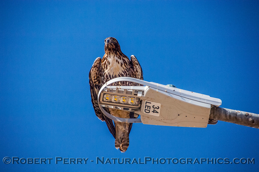 Buteo jamaicensis on lamp post 2017 10-18-EDH-051