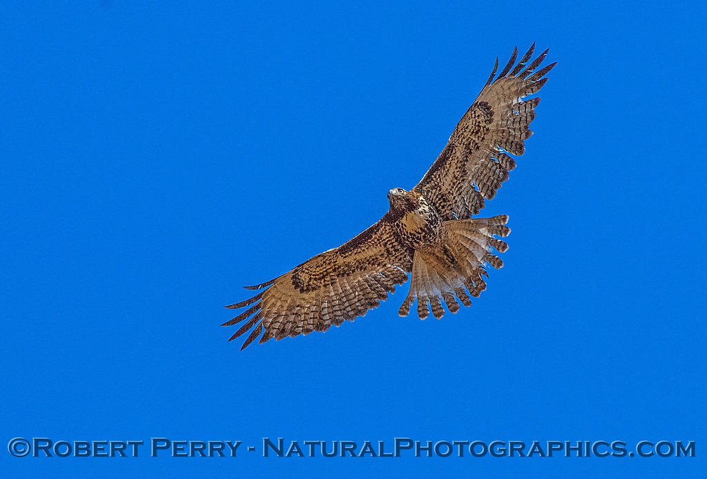 Buteo jamaicensis in flight 2017 10-18-EDH-006