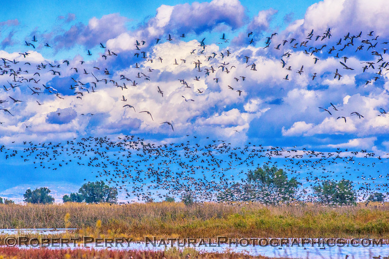 Multitudes of white-fronted geese
