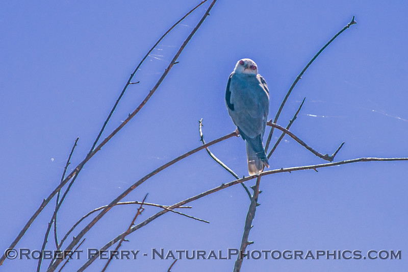 White-tailed kite with strands of spider silk all around