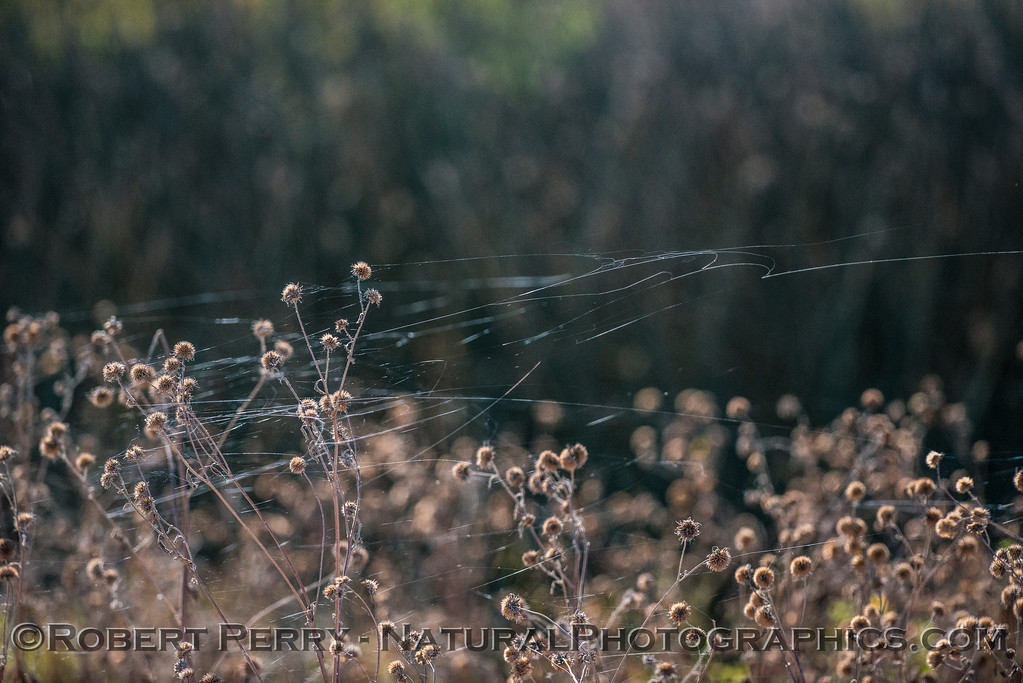Ballooning spider web material or gossamer strands were flying in the wind by thousands.  Many had small spiders riding the air currents -  sometimes called aeroplankton.  Here the gossamer strands, which are very sticky, have become attached to marsh plants.