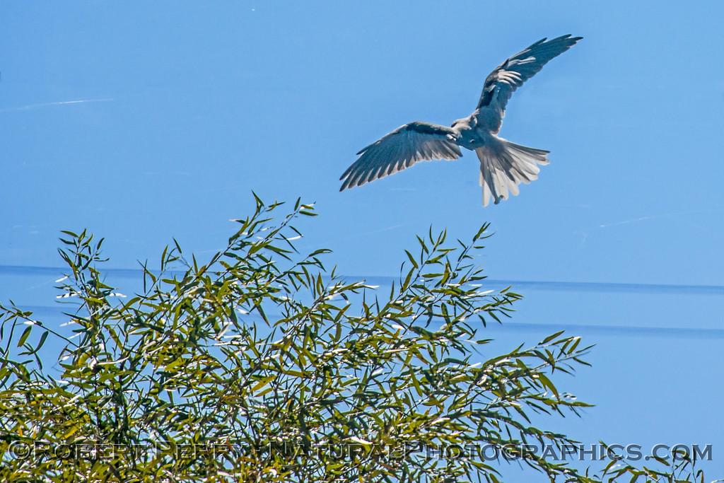 Elanus leucurus White-tailed kite 2017 10-23 Yolo ByPass-158