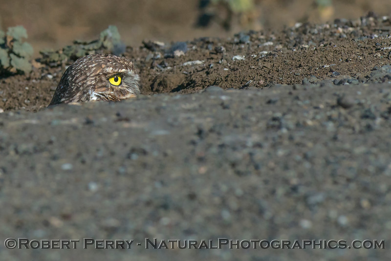 Athene cunicularia Burrowing owl 2017 10-23 Yolo County-015