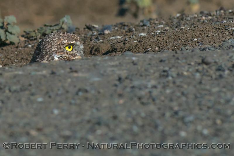 Athene cunicularia Burrowing owl 2017 10-23 Yolo County-015