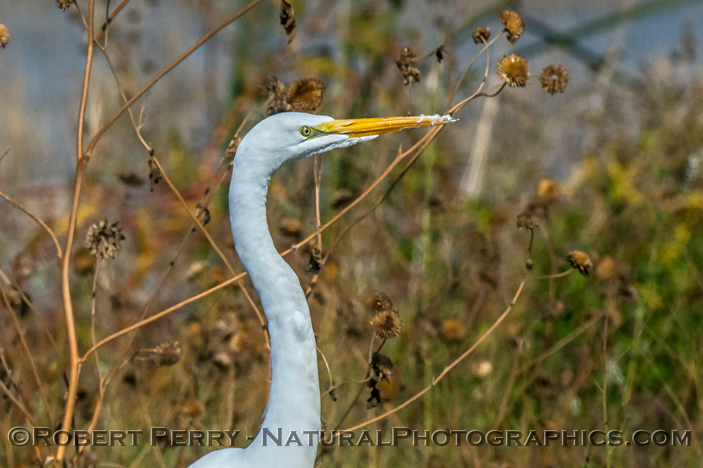 Ardea alba Great white egret standing 2017 10-30 Yolo ByPass-012