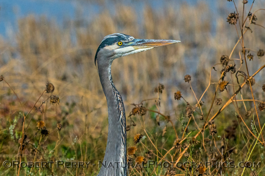 Ardea herodias Great blue heron standing 2017 10-30 Yolo ByPass-016