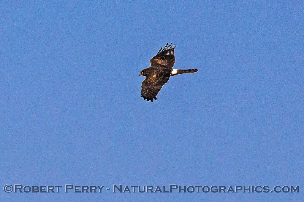 Circus cyaneus Northern harrier in flight 2017 10-30 Yolo ByPass-b-037