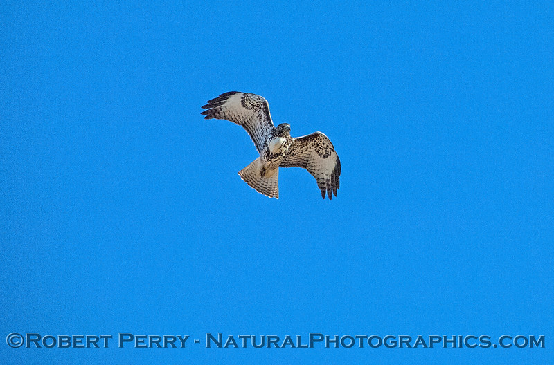 Buteo jamaicensis in flight 2017 11-01 Payen-004
